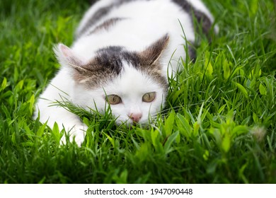 White spotted cat sitting in the grass. Cat on the hunt in an ambush