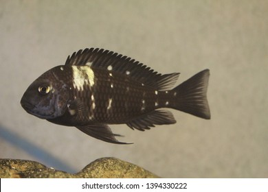 White spotted cichlid (Tropheus duboisi) belonging to limnivores from Lake Tanganyika located in Eastern Africa in the aquarium
