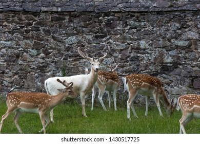 White and spotted mule deer inside Bradgate Park, UK