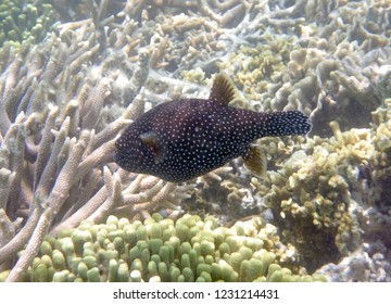 White spotted puffer fish on branching corals
