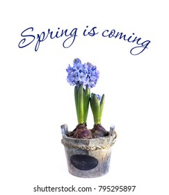 White spring background with Blue hyacinths