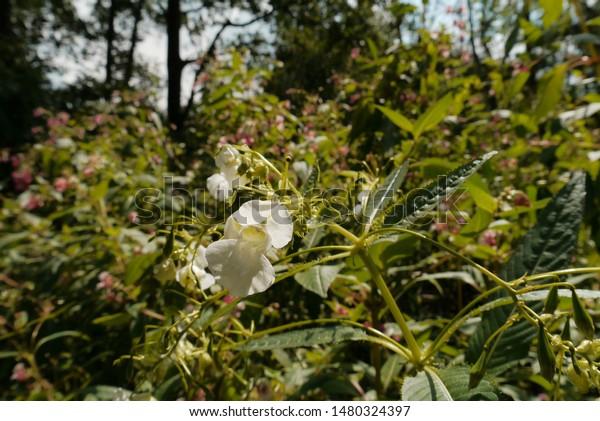 White spring balsamic, white gaint balsamic