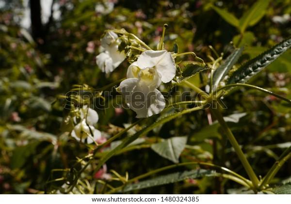 white spring balsamic , giant balsamic