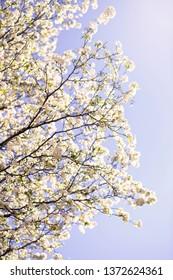 White spring blossoms white light blue sky background in Over-The-Rhine in Cincinnati, Ohio.
