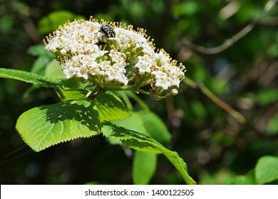 White spring flower cluster of European elder, also called Elderberry or Black Elder, latin name Sambucus Nlgra , some bug sucking nectar on top of flower cluster.