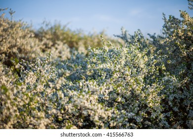 White Spring flowers. Bright background of flowering trees