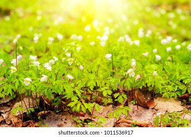 White spring flowers are illuminated by the Sun
