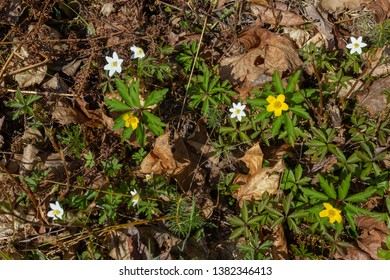White spring flowers - wood Anemone, yellow Anemone (Anemone nemorosa, Anemone ranunculoides) in natural growth conditions in the wild.