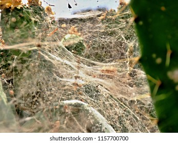 the white spun net of white fly on a cactus. artfully woven and bizarrely spun, in close-up.