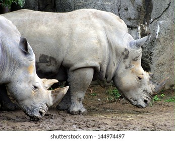 White or square-lipped rhinoceros after a cooling wallow in the mud