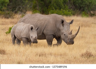 White square-lipped rhinoceros, mother and calf, Ceratotherium simum. Showing horns with oxpecker bird in ear. Ol Pejeta Conservancy, Kenya, East Africa.