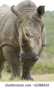 A white or square-lipped rhinoceros. Photo taken in Eastern Cape nature reserve, Republic of South Africa.