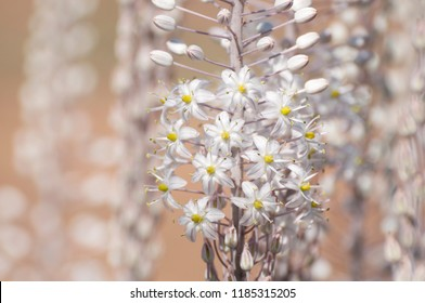 White Squill Garden