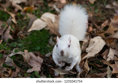 A white squirrel looking up in Olney Community Park in Olney, Illinois.
