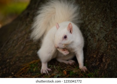 A white squirrel in Olney Community Park in Olney, Illinois.