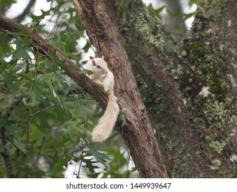 A white squirrel pauses in a large tree in Brevard, North Carolina.  The color is caused by a genetic mutation.