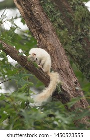A white squirrel takes a nap in a large tree in Brevard, North Carolina.  The color is caused by a genetic mutation.