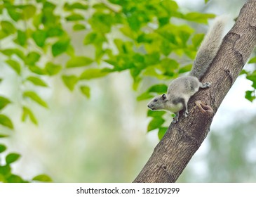 White squirrel , Thailand