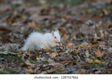 A white squirrel in the trees in Olney Community Park in Olney, Illinois.