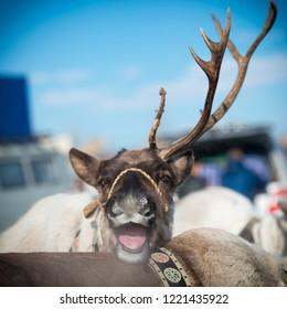 white stag with one sawn horn at the festival of reindeer herders in Yakutsk, Republic of Sakha (Yakutia)