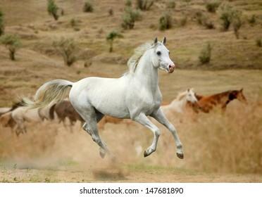 white stallion in dust