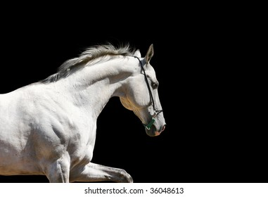 white stallion on black isolated