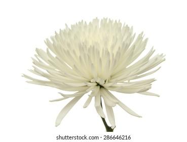 white star  Chrysanthemum isolated on white background