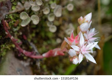 White Stonecrop - Sedum album Small Rock Flower