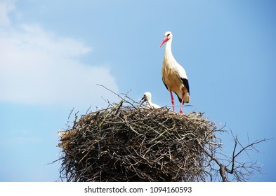 White stork and baby on a nest