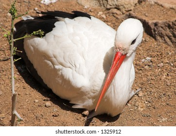 White stork in the canary islands