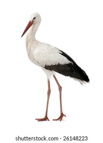 White Stork - Ciconia ciconia (18 months) in front of a white background
