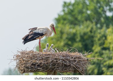 white stork (Ciconia ciconia) with babies
