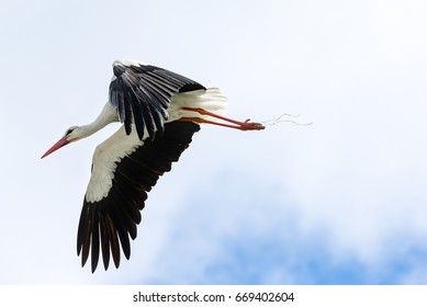 The white stork (Ciconia ciconia), flying with widely spread wings,