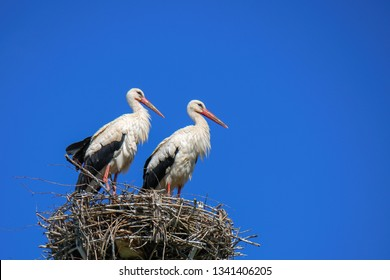 The white stork (Ciconia ciconia) is a large bird in the stork family Ciconiidae. White Stork on nest in spring. Blue background.
