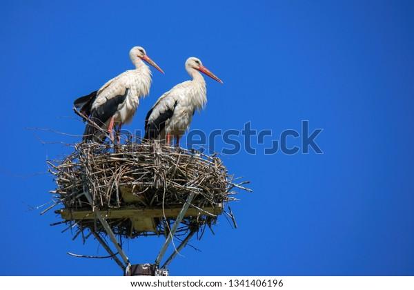 white-stork-ciconia-large-bird-600w-1341
