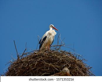 White Stork, Ciconia ciconia, in nest