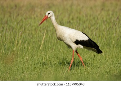 White Stork (Ciconia ciconia) on the lake side in Hungary, Europe. Searching fot the food.