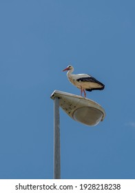 White stork, Ciconia ciconia, perched on a streetlamp. Photo taken in the municipality of Colmenar Viejo, province of Madrid, Spain