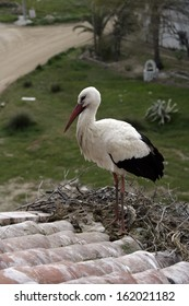 White stork, Ciconia ciconia, single bird on nest on building roof, Spain