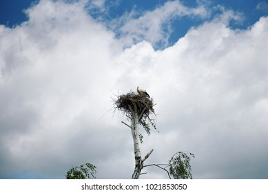 A white stork (Ciconia) is sitting in the nest in the tree against the background of a blue sky with clouds.