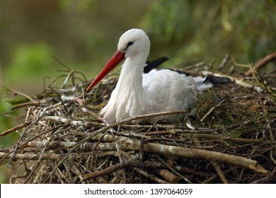 The white stork (Ciconia ciconia), sitting on the nest. Breeding season for the stork.