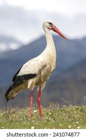 White Stork (Ciconia ciconia), in their natural habitat, Spain