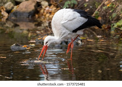 White stork, Ciconia ciconia, wading in water and catching food