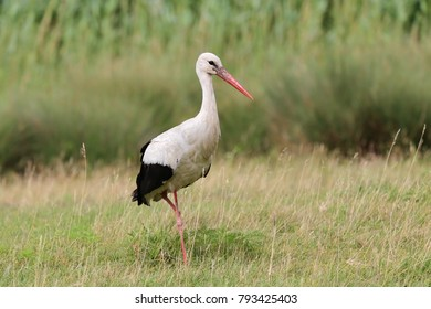 White stork (Ciconia ciconia) walking in the field, natural habitat, with one leg, looking for prey, one adult
