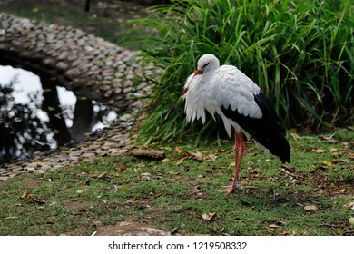 The White Stork (Ciconiidae) is a large wading bird in the stork family Ciconiidae. Photography of nature and wildlife.