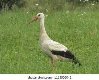 White stork, cironia cironia,