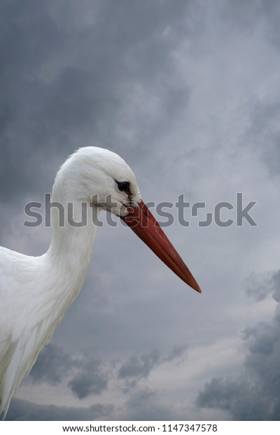 White stork closeup in the park before cloudy sky