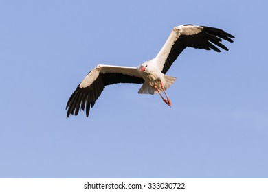 White Stork coming down. A lovely white stork bends its wings as it prepares to descend from the sky.