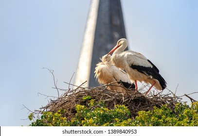 white stork couple rattle in nest, Alsace France with church in background