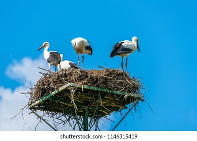 A white stork family (Ciconia ciconia) - four storks standing in a nest in Polish countryside